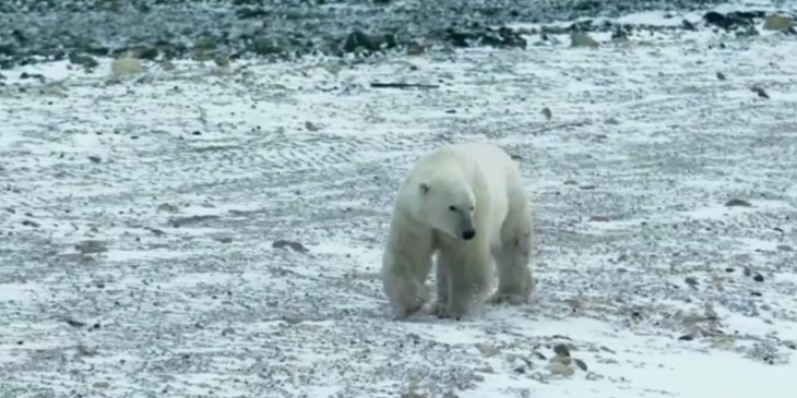 Google Street View polar bears